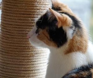 Glückskatze mit drei Fellfarben, Katzen Fellfarben