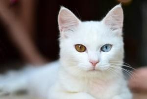 Weiße Katze mit zwei Augenfarben, Katzen Fellfarben