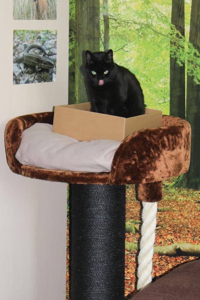 XXL Kratzbaum Test Chartreux RHRQuality-Katze im Karton auf ihrem neuen Kratzbaum